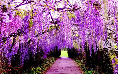 Wisteria Wallpapers - Wallpaper Cave