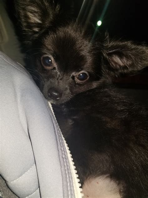 Chihuahua Puppies For Sale   Lexington, KY #290573