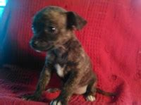 Search locally for Chihuahua Puppies and Dogs nearest you