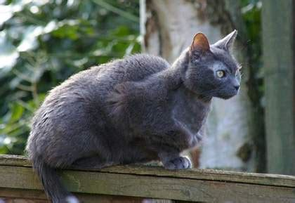 Hyperthyroidism in Cats - Causes, Symptoms & Treatment