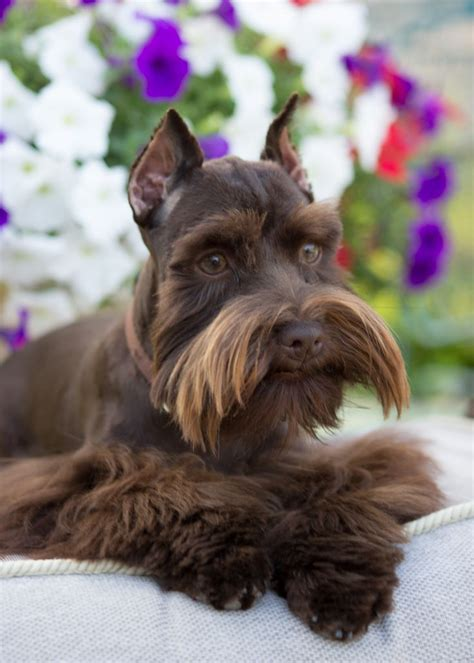 425 best images about Animal's [Miniature schnauzer] on