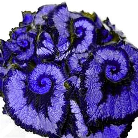 Cheap Blue Begonia, find Blue Begonia deals on line at